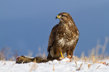 Common Buzzard In Winter. Comm...