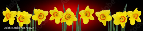 Photo narcissus flower isolated on a white background