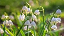 Leucojum Vernum Or Spring Snow...