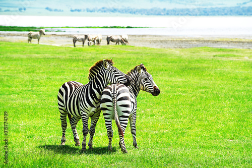Zebra in Ngorongoro Conservation Area, Tanzania.
