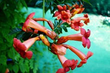 Trumpet Flowers In The Garden
