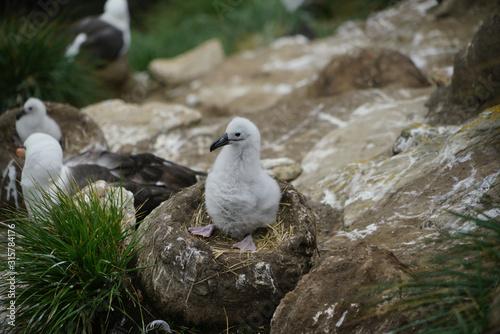 Fotografie, Obraz  Black browed Albatros