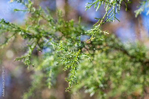 Abstract background of green cedar tree branches with bokeh forest ~EVERGREEN~