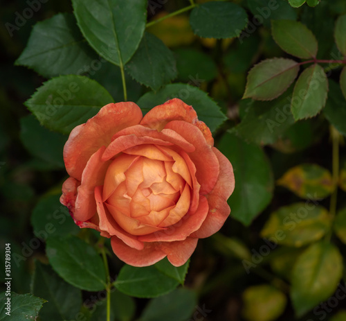 Orange Rose Blossom with Green Leaves