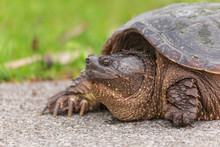 A Large Turtle