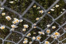 Daisies Through Chain Link Fence