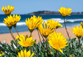 Fototapeta Kwiaty Flowers by the sea, Bondi Beach Australia