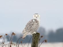 Female Snowy Owl Sitting On Fence Post, Portrait