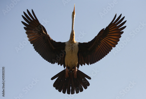 Female Darter Flying directly overhead Fototapet