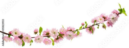 Photo  Pink flowers blooming almond tree on branch with green leaves isolated on white