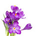 Purple Crocus flowers with green leaves isolated on white background