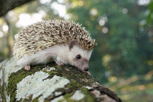 Photo  hedgehog in forest
