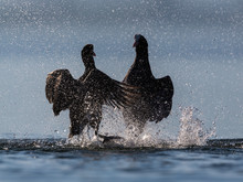 Silhouettes Of Two Black Coots...