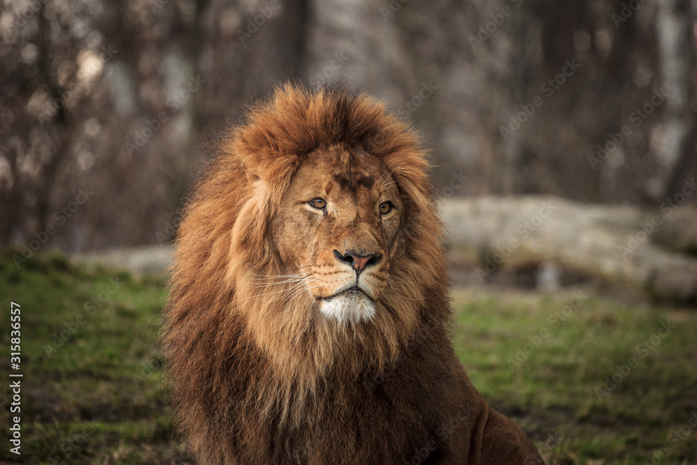 Fototapeta portrait of a lion