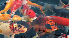 Many Colorful Koi Fish Play In...