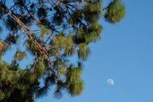 Moon On Daylight And Tree