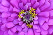 canvas print picture - macro image of the center of a bright purple pink flower