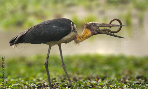 Lesser adjutant stork with a swamp eel kill Canvas Print