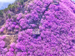 canvas print picture - Cheonjusan Mountain Jindallae Azalea Flower Blooming , Changwon, Korea, Asia.