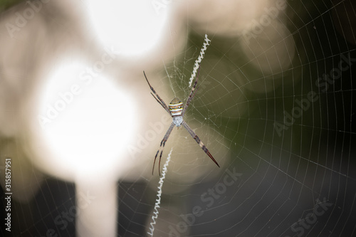 Photo Scary live Argiope Keyserlingi spider making his net for hunting food during nig