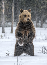 Brown Bear Standing On His Hin...