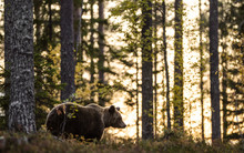 Silhouette Of A Bear. Forest At Sunset Background. Big Adult Male Of Brown Bear In The Autumn Forest. Scientific Name: Ursus Arctos. Natural Habitat.