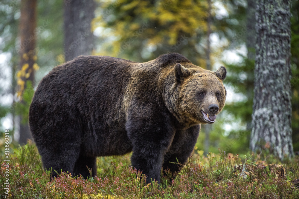 Fototapeta Big Adult Male of Brown bear in the autumn forest. Scientific name: Ursus arctos. Natural habitat.