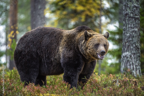 Fototapeta Big Adult Male of Brown bear in the autumn forest. Scientific name: Ursus arctos. Natural habitat. obraz