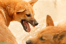 The Dingo Is A Dog That Is Found In Australia. It Is A Medium-sized Canine That Possesses A Lean, Hardy Body Adapted For Speed, Agility, And Stamina. Here Are Two Australian Dingo Pups Play Fighting.