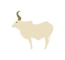 Zebu Cow On White