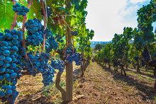 Ripe Red Wine Grapes On Vines At Picerno Basilicata Italy