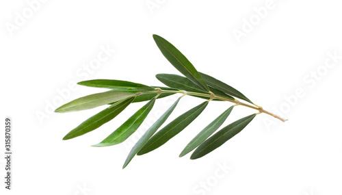 Fototapeta Fresh olive branch leaves isolated on white background obraz