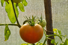 Close-up Of Ripening Tomato On Branch.