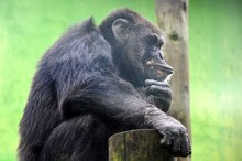 One Chimpanzee Thinking On A T...