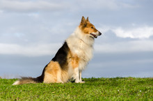 Collie On The Grass In Tuscany...