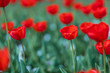 Group of red tulips in the park. Spring landscape, blurred natural background. Peaceful nature scenery