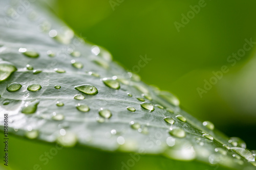 Fotografia Rainy season, water drop on lush green foliage in rain forest, nature background