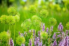 Purple Sage And Yellow Allium ...