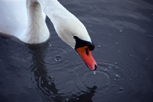 Close Up Of Foraging Swan Head...