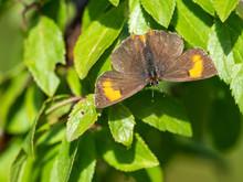 Female Brown Hairstreak Butterfly (Thecla Betulae)