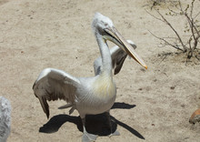 Male Pelican Is Lifting Wings ...