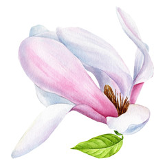 Panel Szklany Do jadalni spring magnolia, isolated transparent background, watercolor illustration, hand drawing, botanical painting, beautifull flowers
