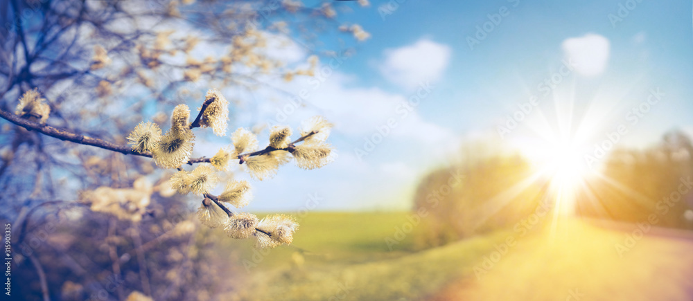 Fototapeta Defocused spring landscape. Beautiful nature with flowering willow branches and  rural road against blue sky and bright sunlight, soft focus. Ultra wide format.