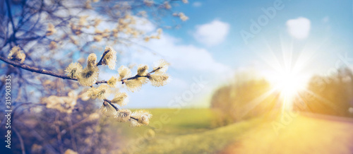 Obraz Defocused spring landscape. Beautiful nature with flowering willow branches and  rural road against blue sky and bright sunlight, soft focus. Ultra wide format. - fototapety do salonu