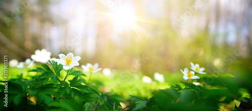 Fototapeta Beautiful white flowers of anemones in spring in a forest close-up in sunlight in nature. Spring forest landscape with flowering primroses. obraz