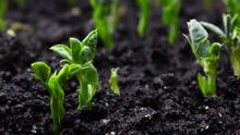 Growing Plants In Timelapse, S...