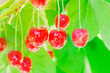 canvas print picture - Selective focus wet shiny cluster of red cherries fruit with water drops hanging on tree