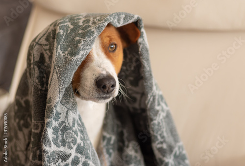 Fotomural  Indoor portrait of basenji dog hiding under coverlet while sitting in a chair