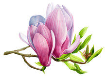 Flowering Magnolia Branch On I...
