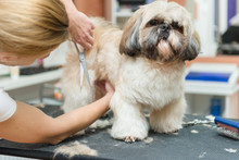 Grooming Dogs Of Shih Tzu Breed In Professional Salon